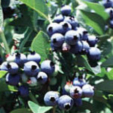 Blueberry Giant