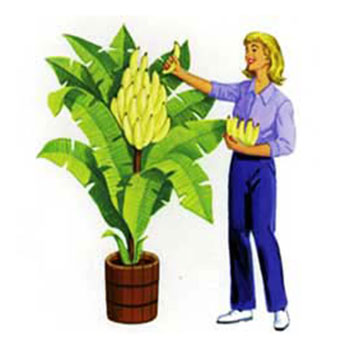 Incredible Indoor Banana Tree - As Seen On TV